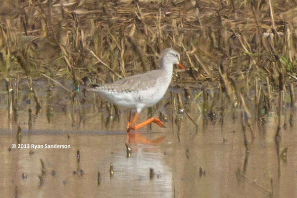 ABArare Spotted Redshank IN Sanderson 03