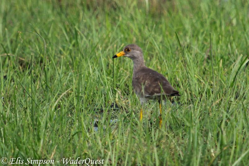 Grey-headed Lapwing (Vanellus cinereus)