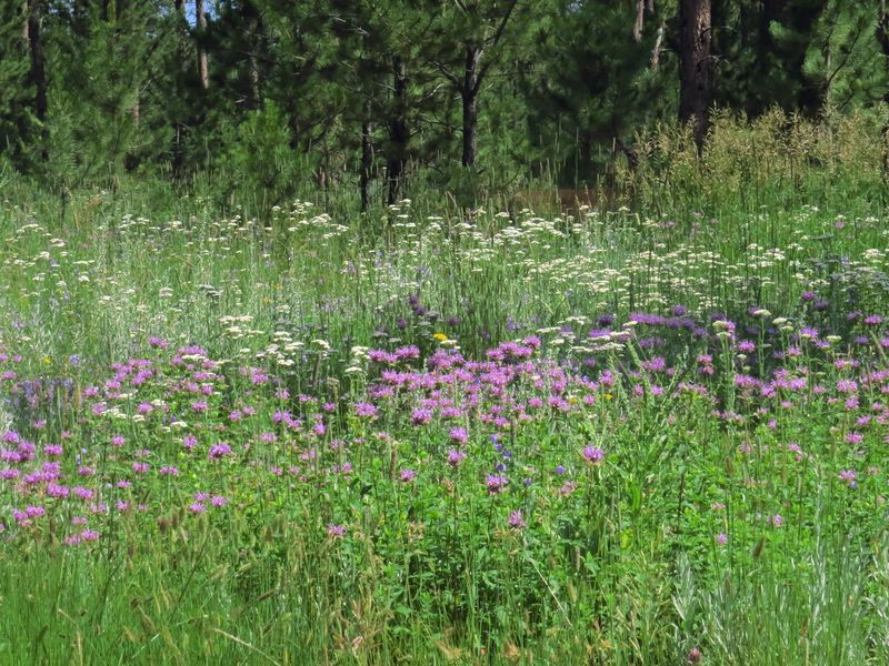 West Pennington purple fls