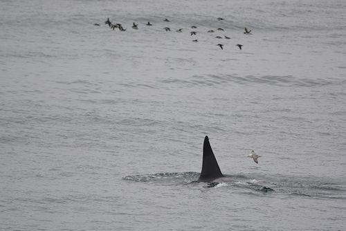Orca_seabirds_Iceland_lr