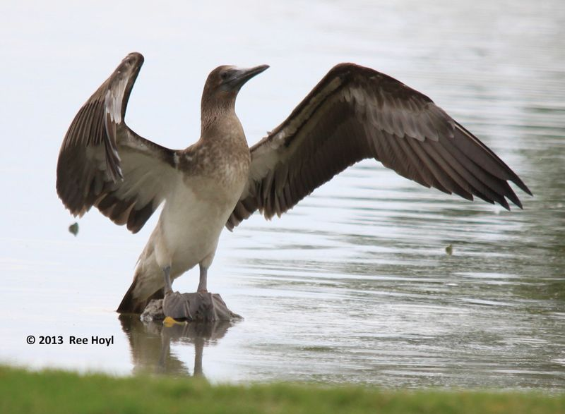 ABArare Blue-footed Booby
