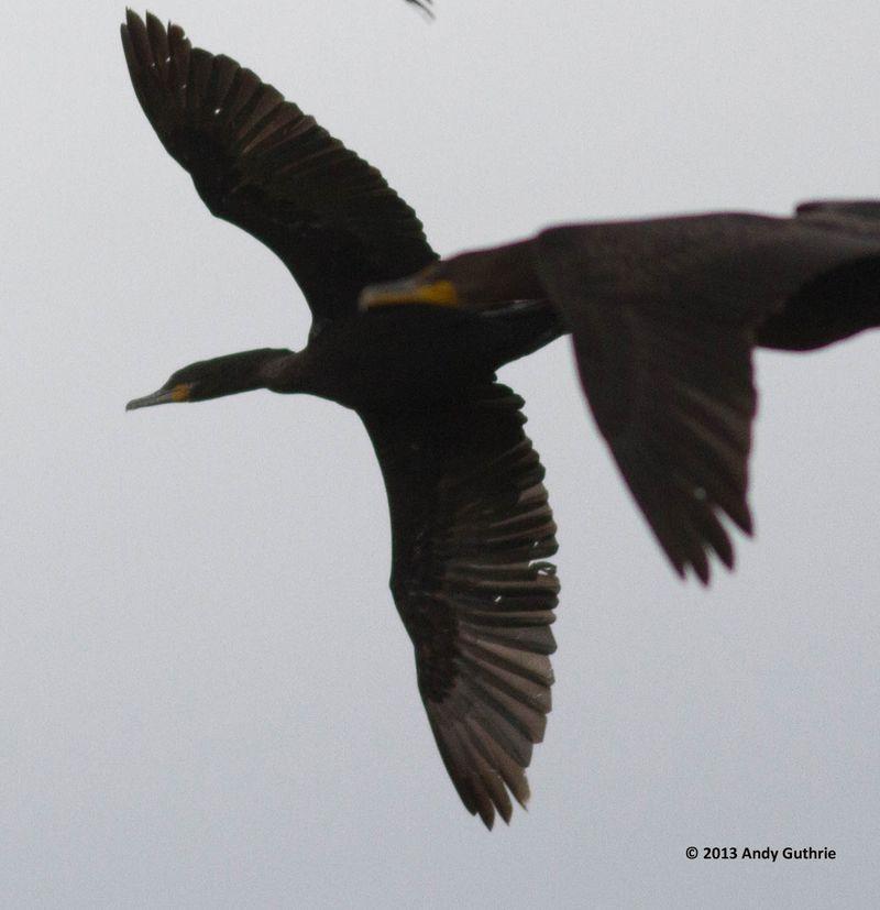 ABArare Neotropic Cormorant