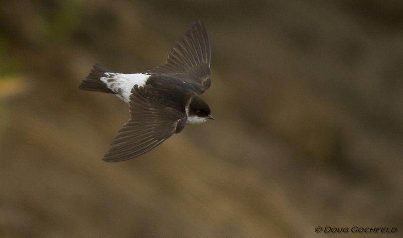 ABArare Common House-Martin Gochfeld flight