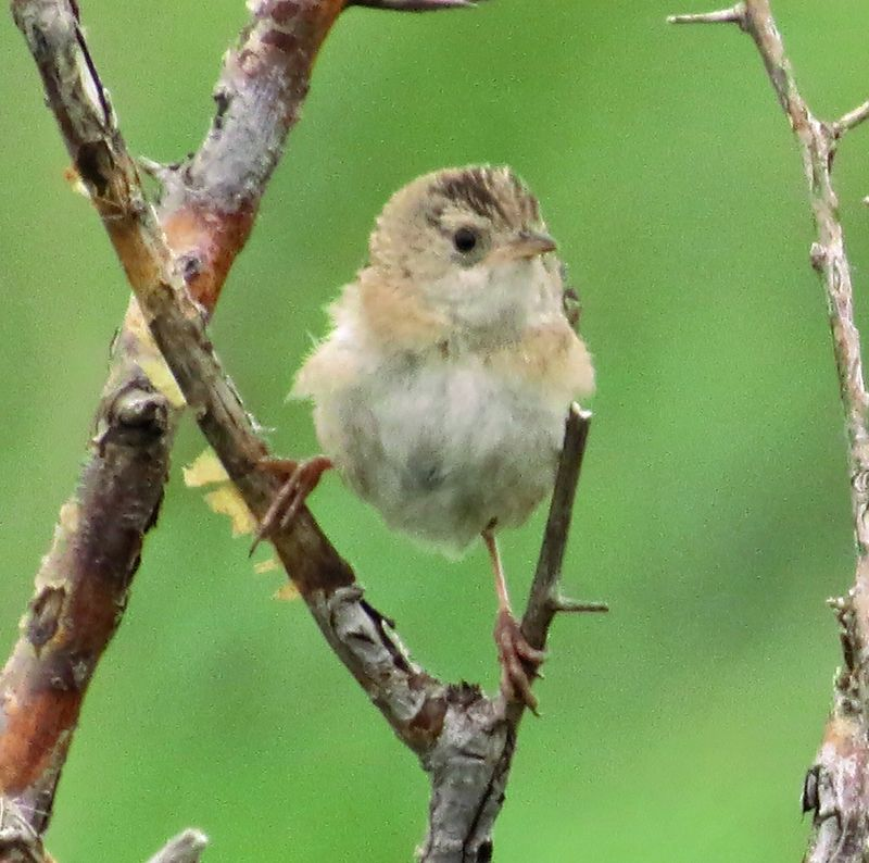 130816 sedge wren not singing