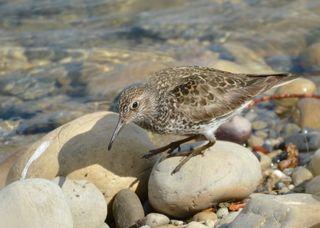 Purple Sandpiper Alberta