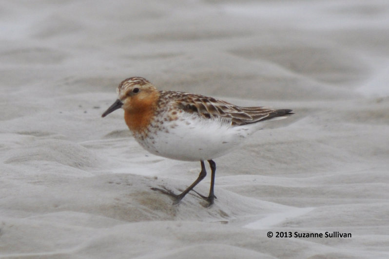 ABArare Red-necked Stint MA Sullivan