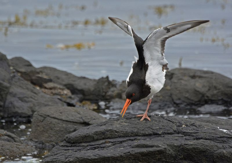 Eurasian_Oystercatcher_stretch_lr