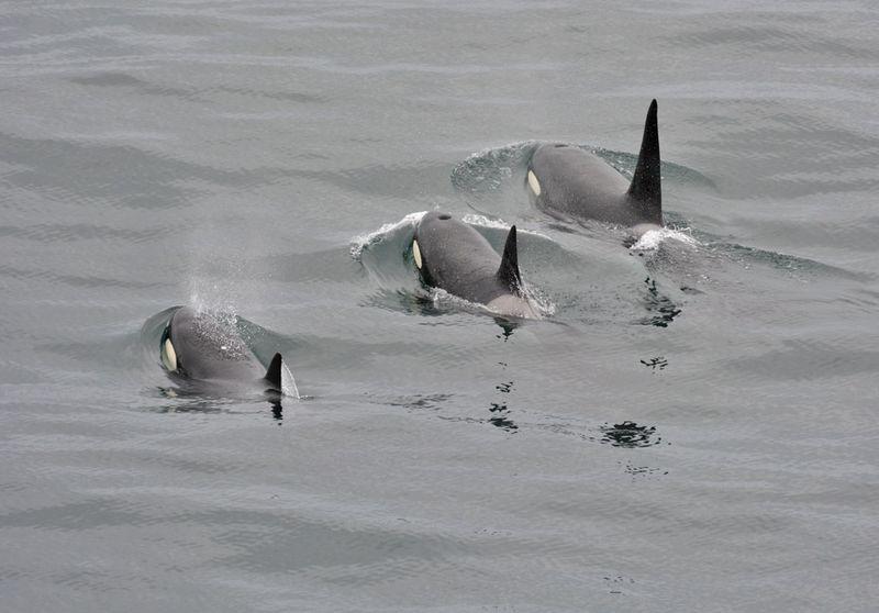 Orca_pod_Iceland-3lr