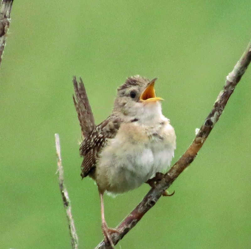 130816 sedge wren singing