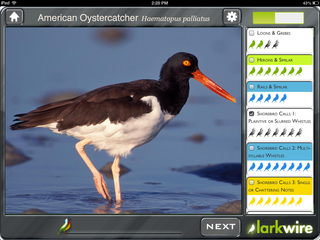 FieldAmericanOystercatcher