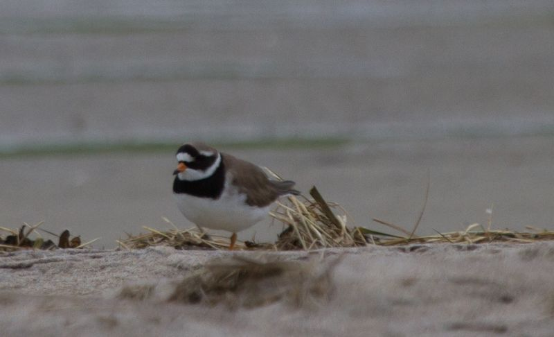 Common Ringed Plover JF