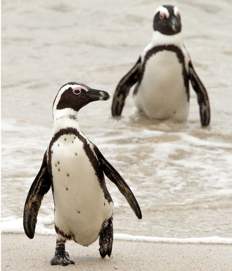African Penguins by Adam Riley-005 X