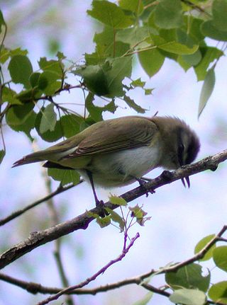 Fig 2 - Red-eyed Vireo