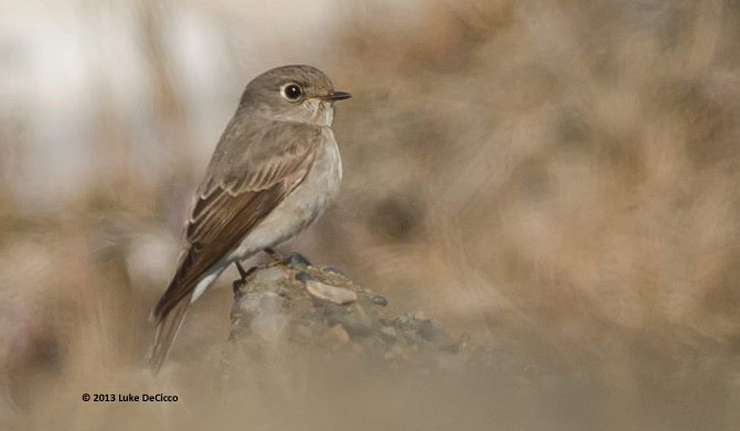 ABArare Dark-sided Flycatcher Barrow 01