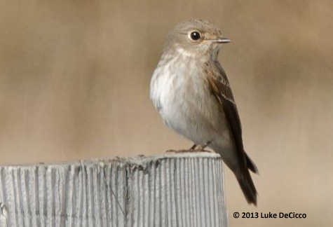 ABArare Dark-sided Flycatcher Barrow 02