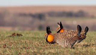 Gesser Prairie Chicken